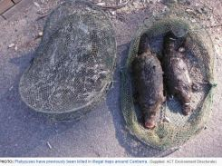 Two platypuses killed in Murrumbidgee River (ACT ) 2015