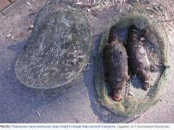 Two platypuses killed in Murrumbidgee River (ACT ) 2015