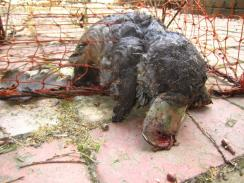 Platypus killed in Yarra River (VIC) 2013