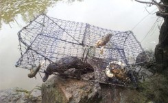 Platypus killed in Murrumbidgee River (ACT) 2013