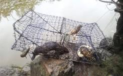 Platypus killed in Murrumbidgee River (ACT) 2013