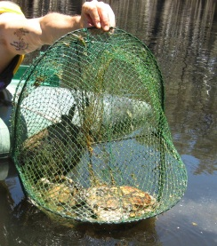 Turtles killed in Wimmera River (VIC) 2015