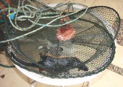 Rakali killed at Crookwell (NSW) 2011