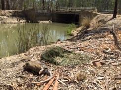 Rakali killed near Murray River (VIC) 2016