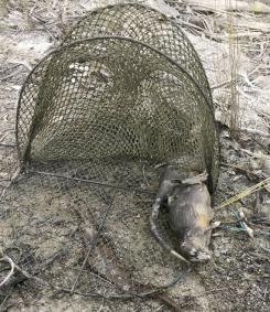 Rakali killed near Nathalia (VIC) 2015