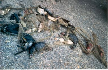 Dead Platypus in gill net (CairnCaarnRes)