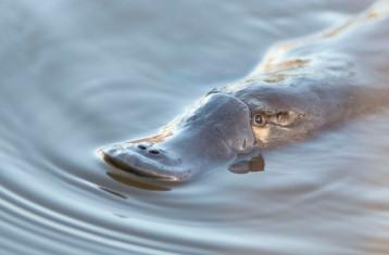 Platypus, Kettering, Tasmania_BB2_8480 #1