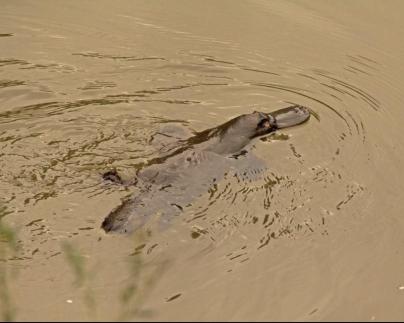 platypus-maffra-2014-sep-gwyther-e1562732440196.jpg