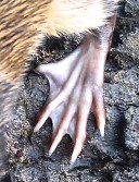 w-rat hind foot